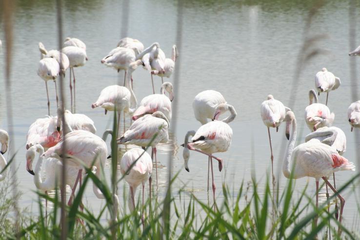 Flamands roses en Camargue
